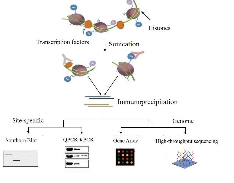 染色质免疫共沉淀(ChIP)流程图.jpg