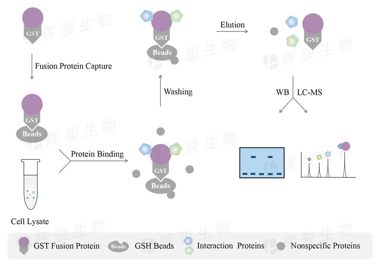 gst pulldown测定_GST-pull down质谱分析_GST标签蛋白.jpg